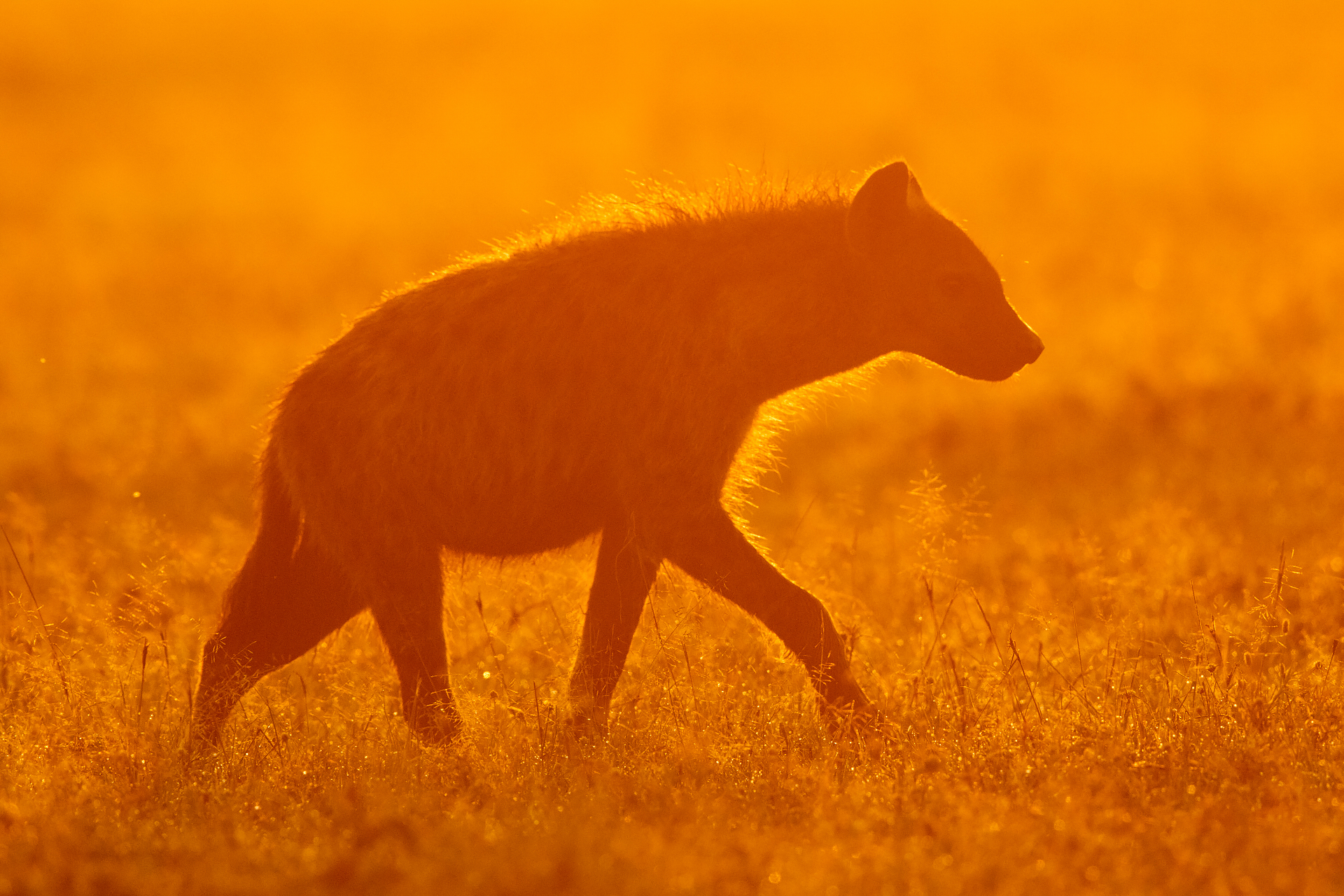 Hyäne im Sonnenuntergang